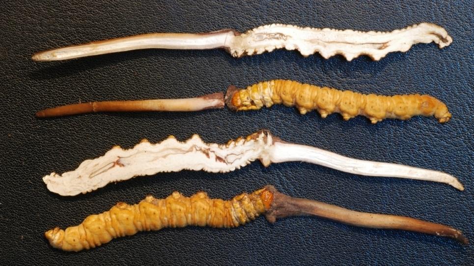 trồng nấm đông trùng hạ thảo lnc global british columbia