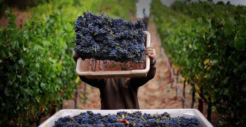 sản xuất rượu vang síp